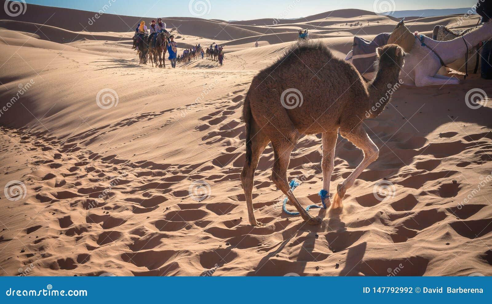 Camelo que aprecia o deserto