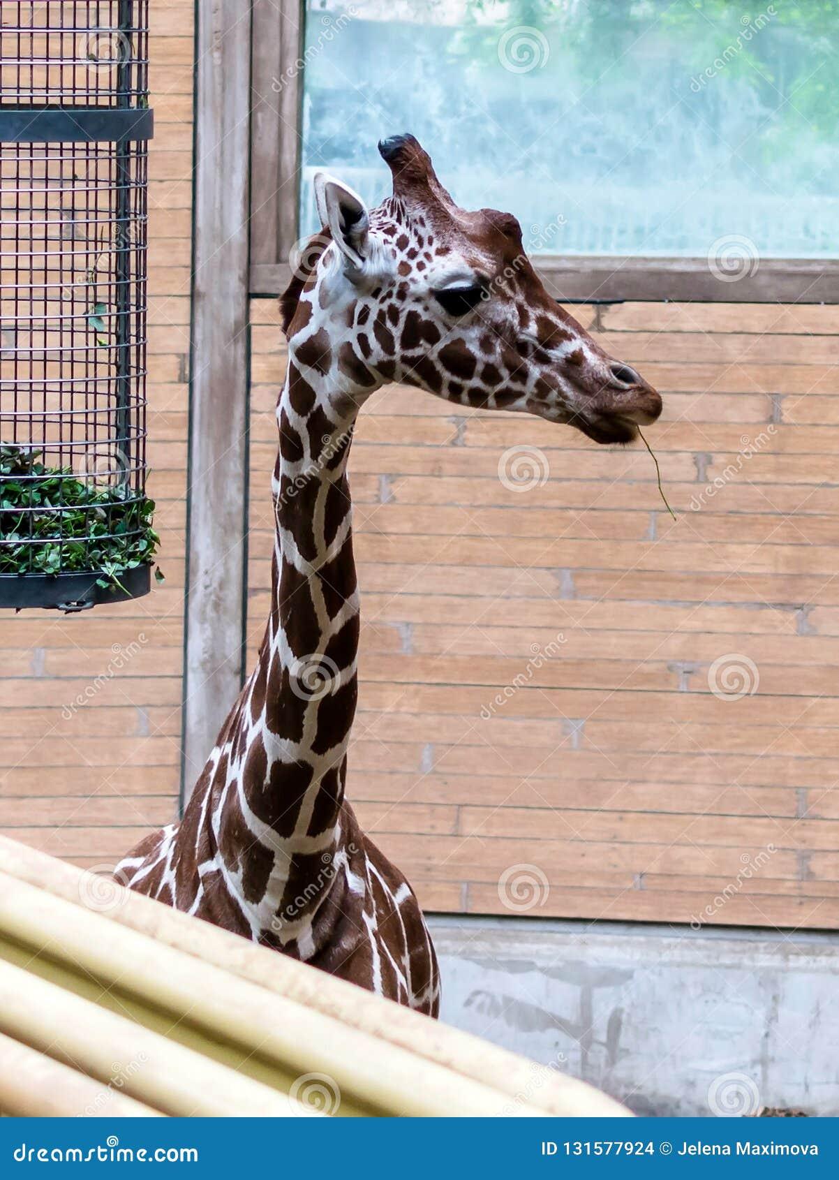Camelopardalisreticulata met een netvormig patroon die van girafgiraffa, als de Somalische giraf ook wordt bekend die aan het rec
