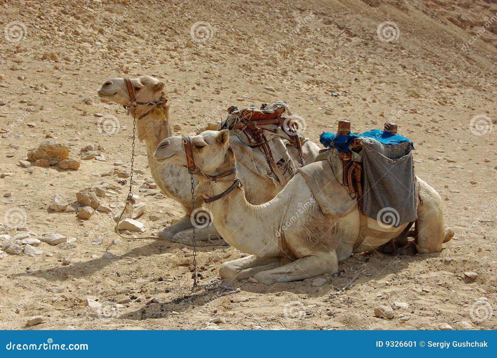 Camelos na areia