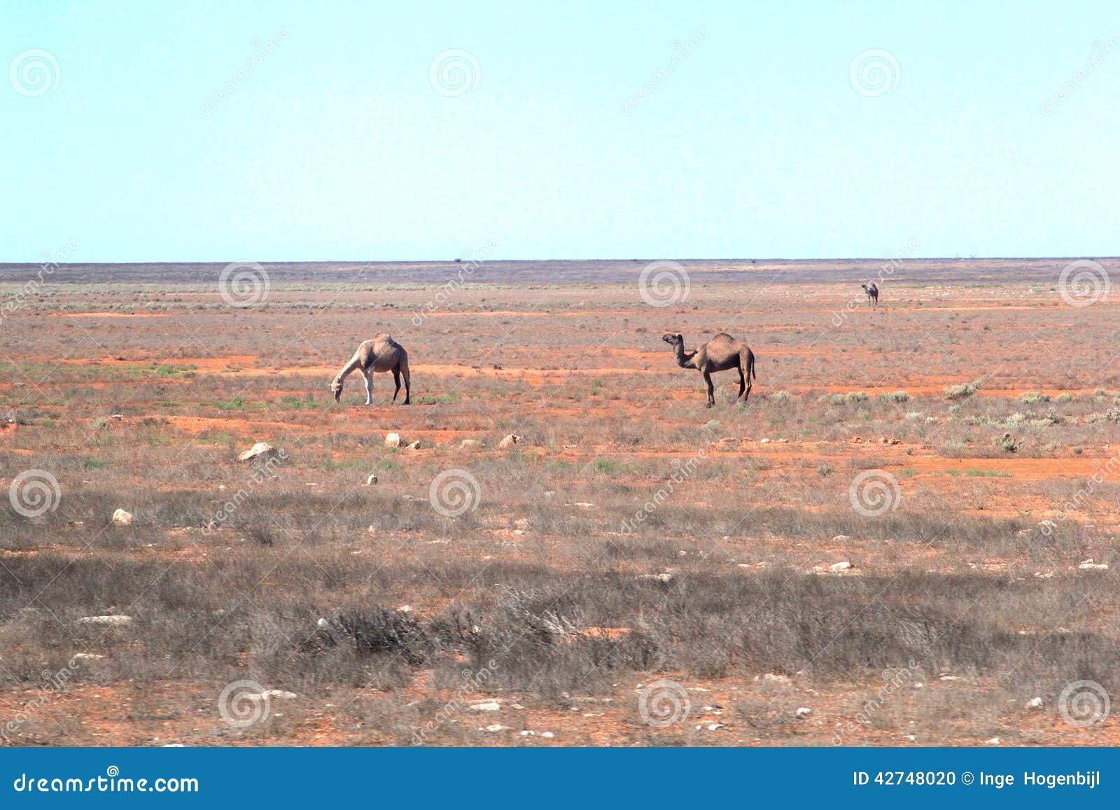 Camelos selvagens no vazio do DES do australiano
