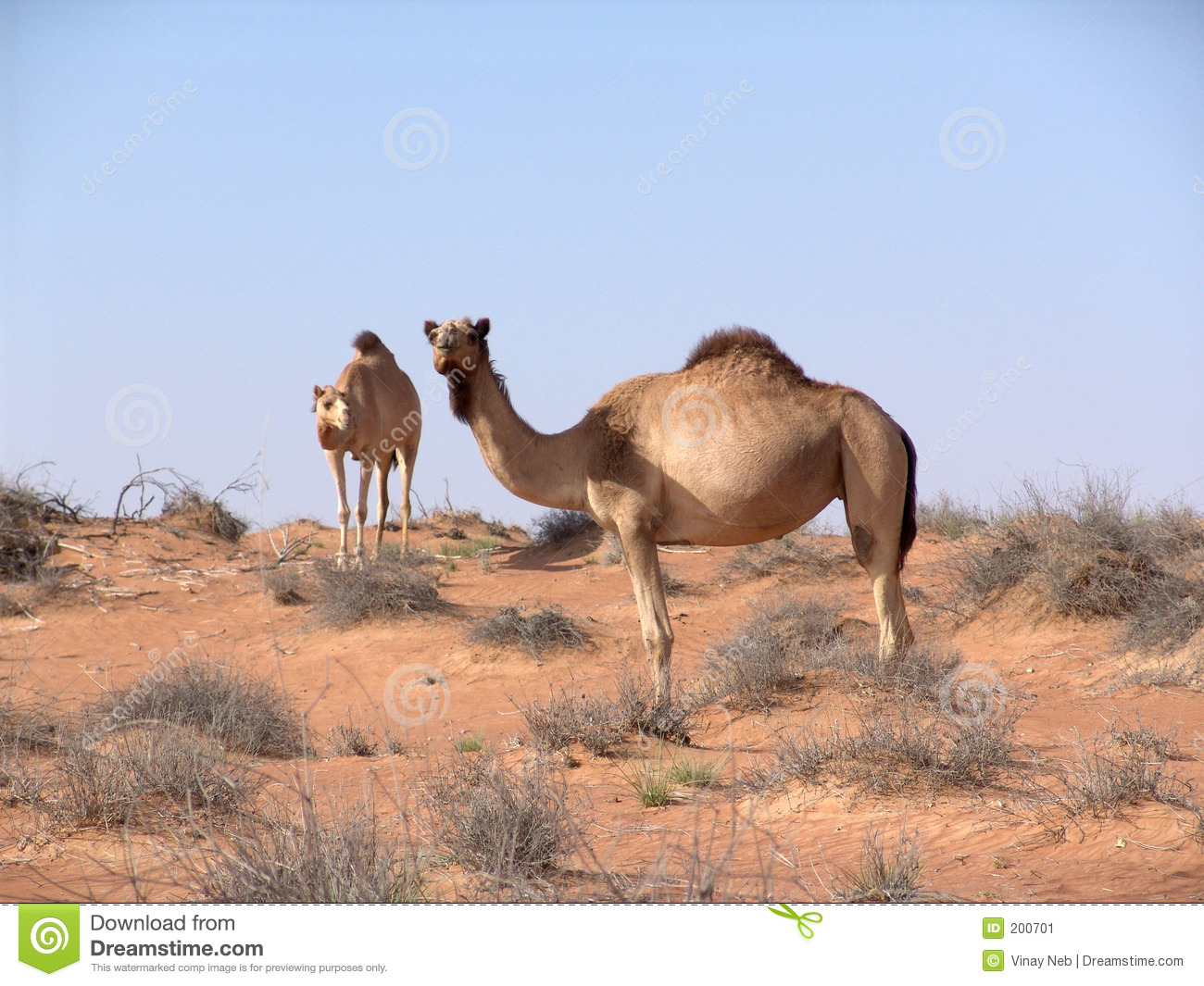 essay on desert animal camel The animals that live in the desert usually have special  good example of an animal with special adaptations is the camel  reference to desert animals.