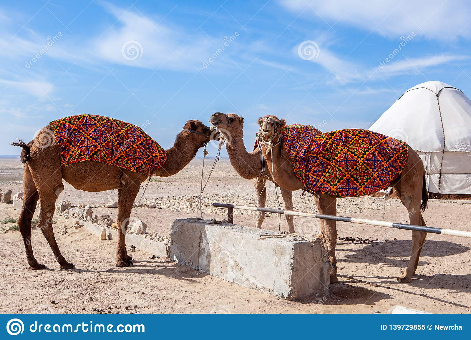 Camels Camelus in camp