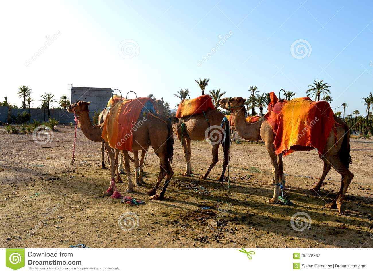 Camels. Caravan. A Caravan Of Camels Is Going To Be Sent On The Road ...