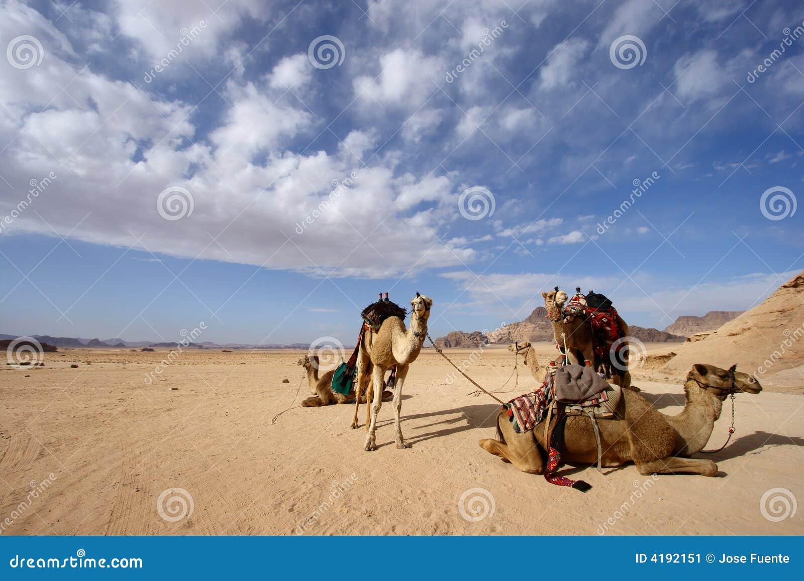 Camels in desert in Jordan