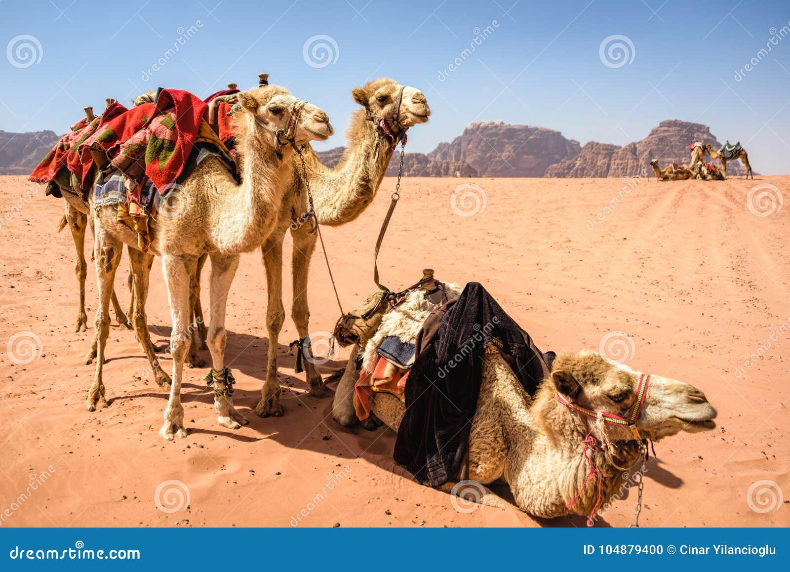 Camels in desert landscape under blue skies