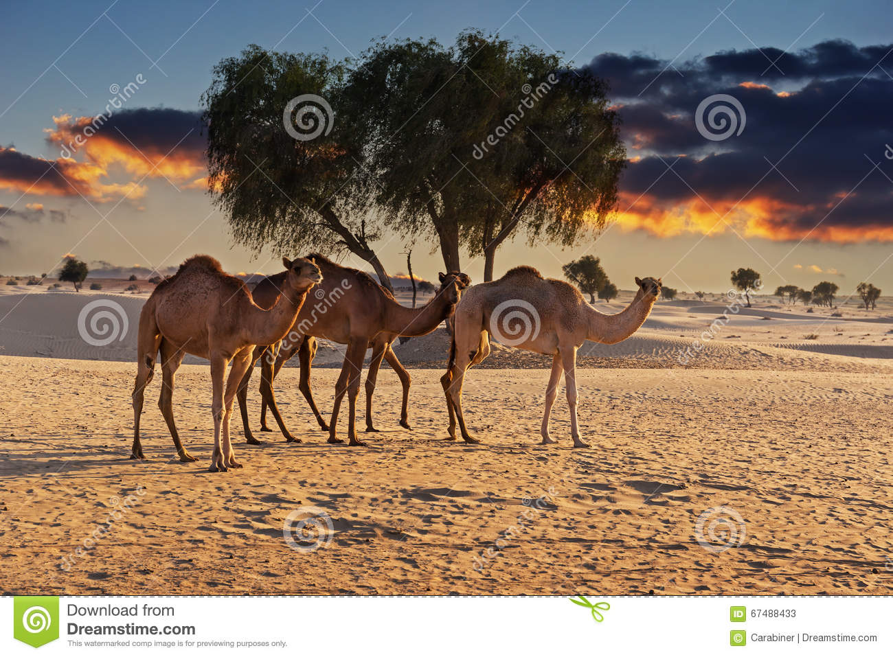 Camels In The Desert At Sunset Stock Image - Image of ...