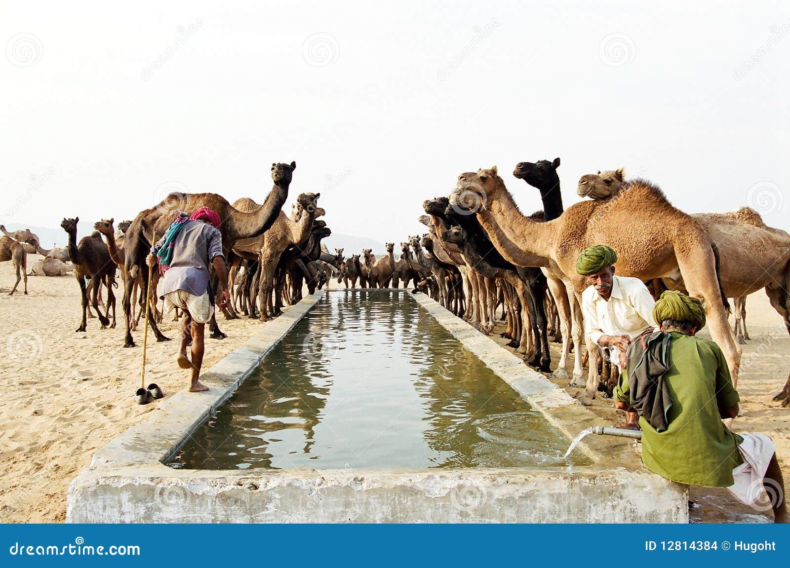 Camels Drinking Pushkar India Editorial Stock Image