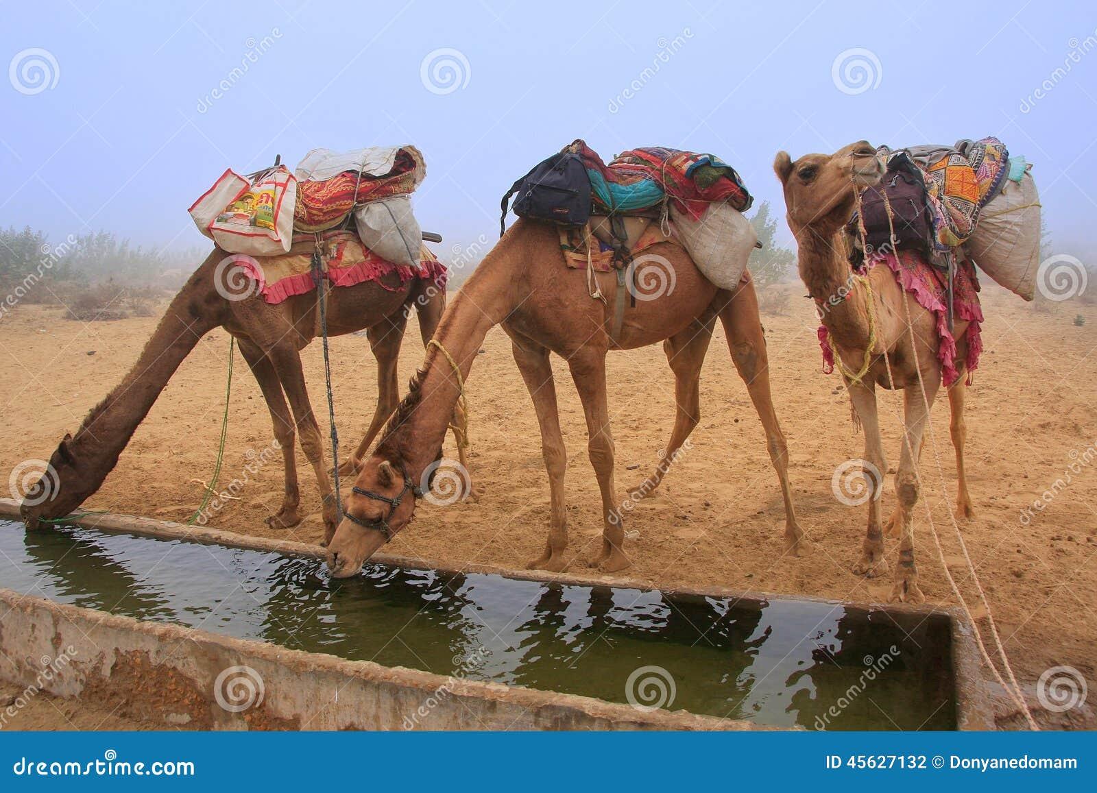 Camels drinking from reservoir in a morning fog during camel safari, Thar desert, Rajasthan, India