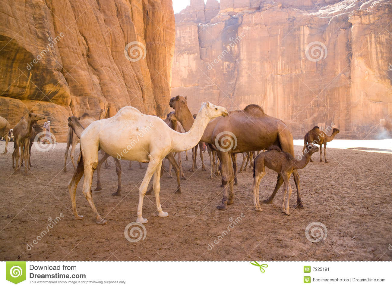 Camels in mountain desert in Chad