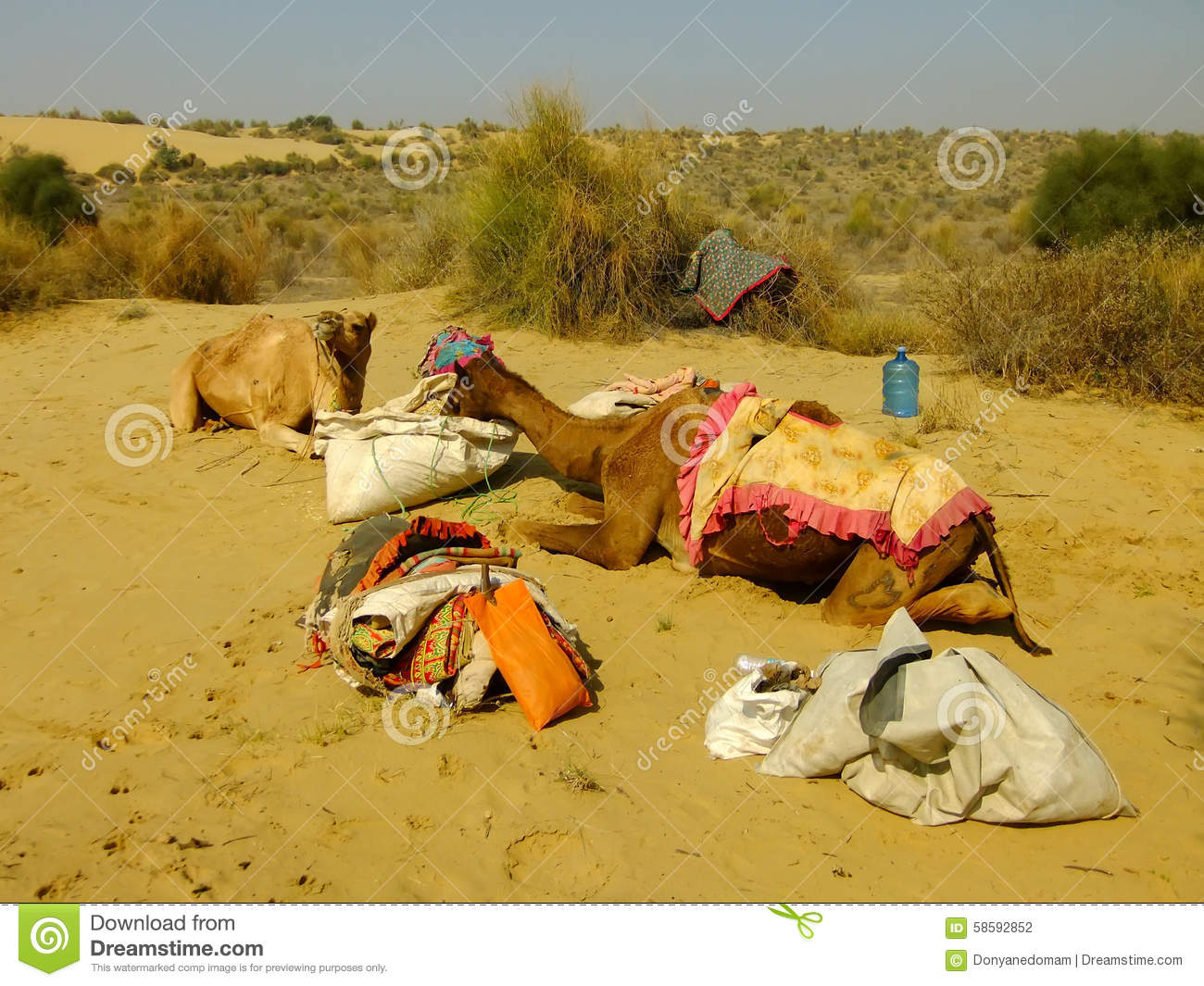Camels resting during camel safari, Thar desert, India