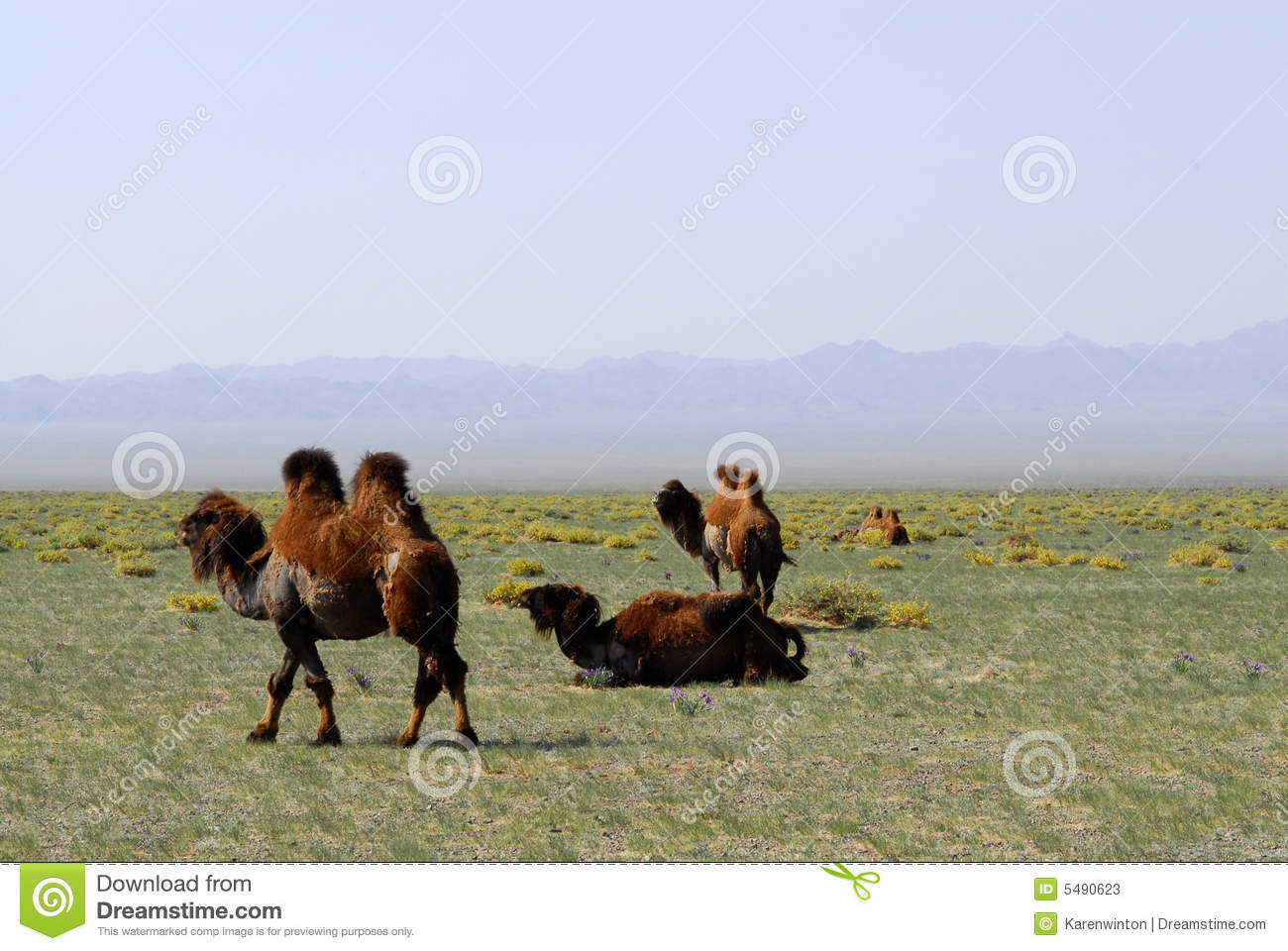 Camels on the steppes, Mongolia