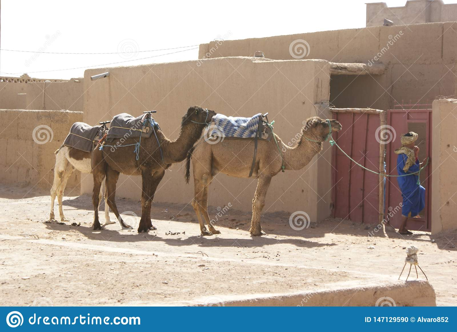 Camels and tuareg in the desert