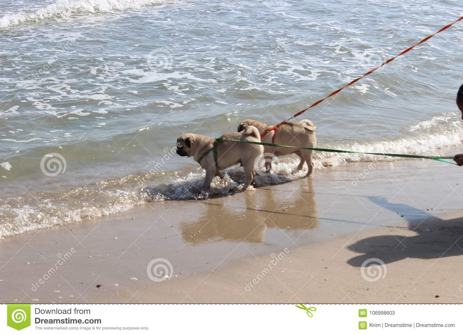 Caminhada do cão do Pug no mar