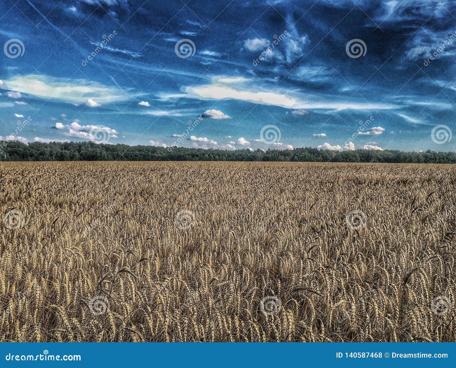 Caminhada em um campo de trigo dourado