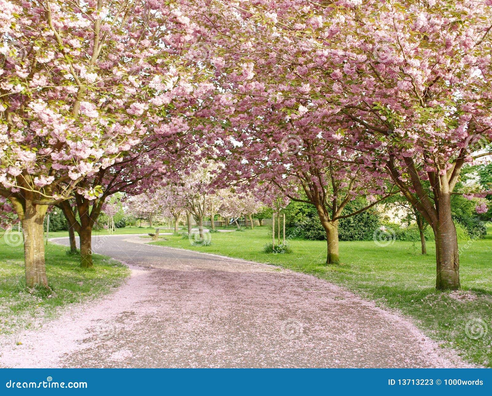 Camino alineado del flor de cereza