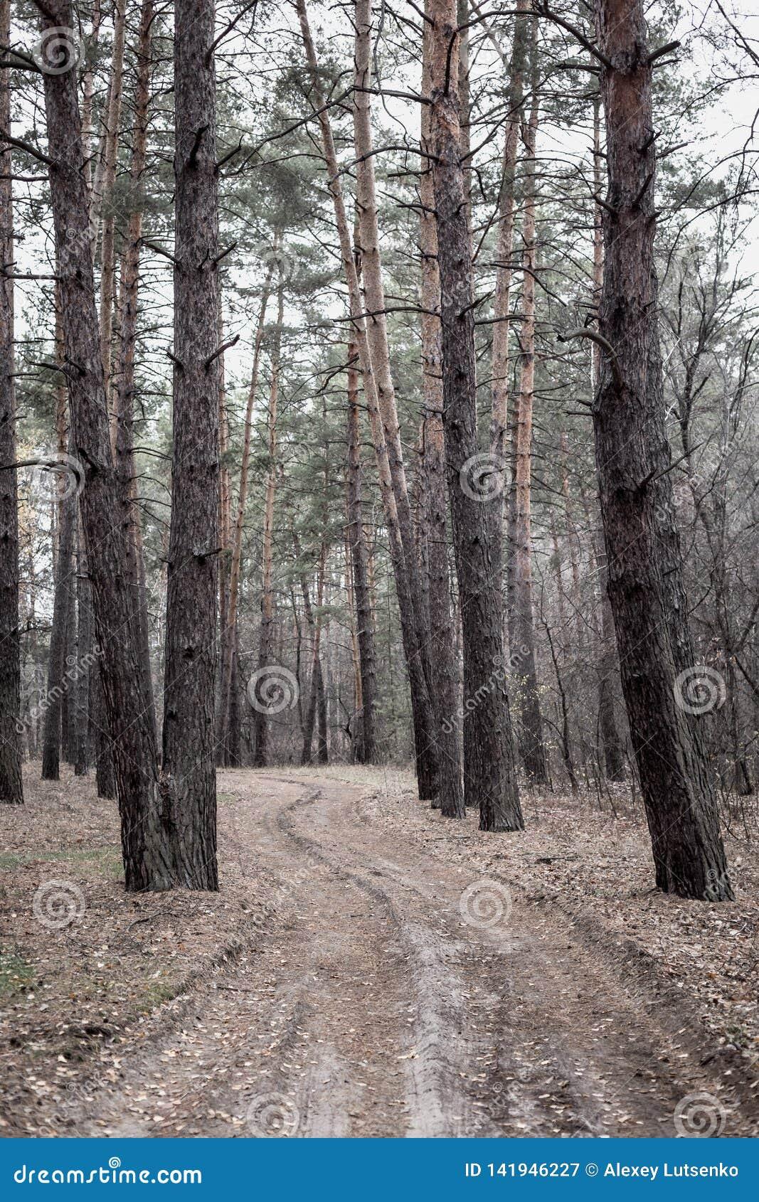 Camino en el bosque del pino en otoño