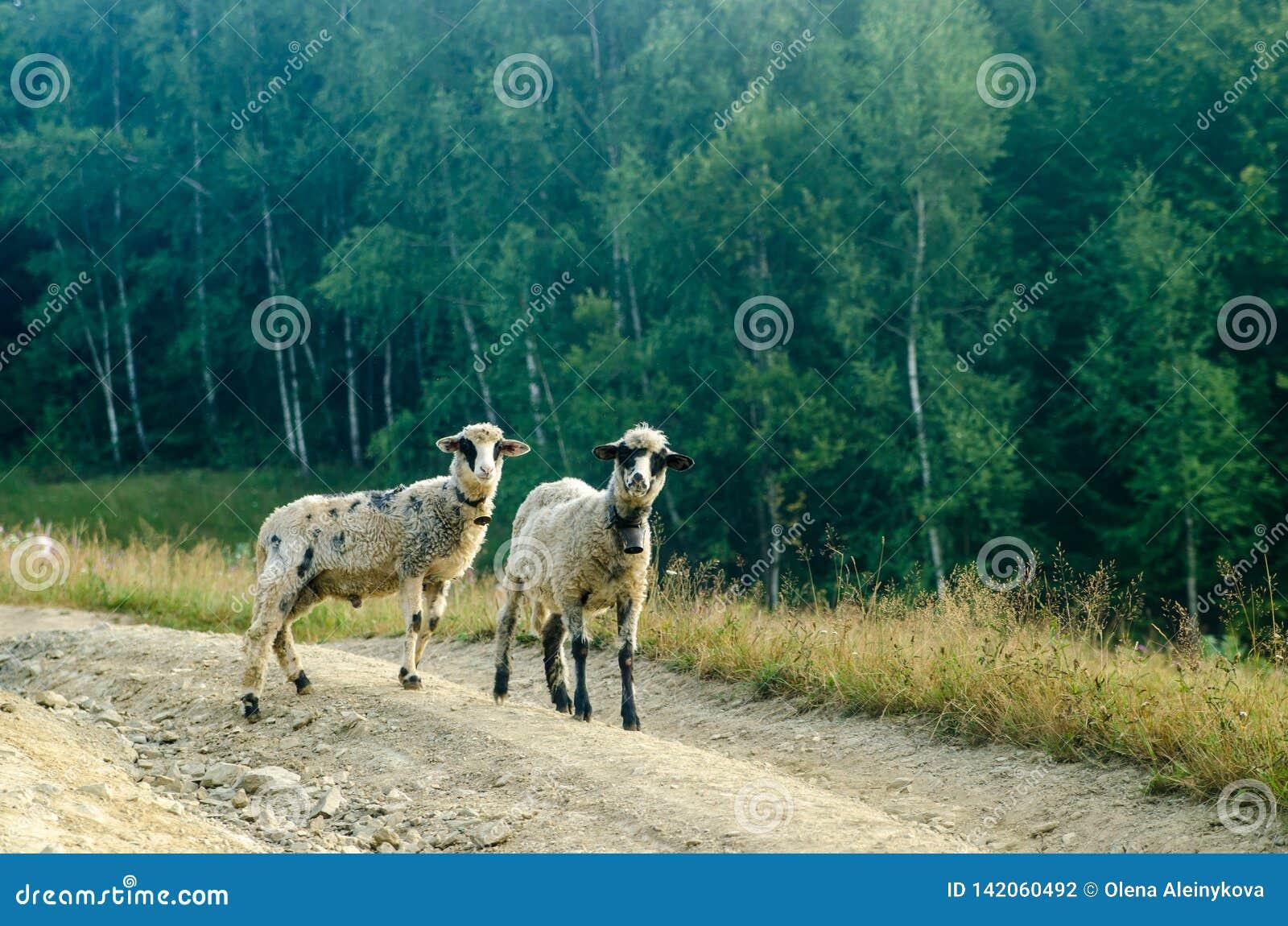 Camino joven de dos ovejas