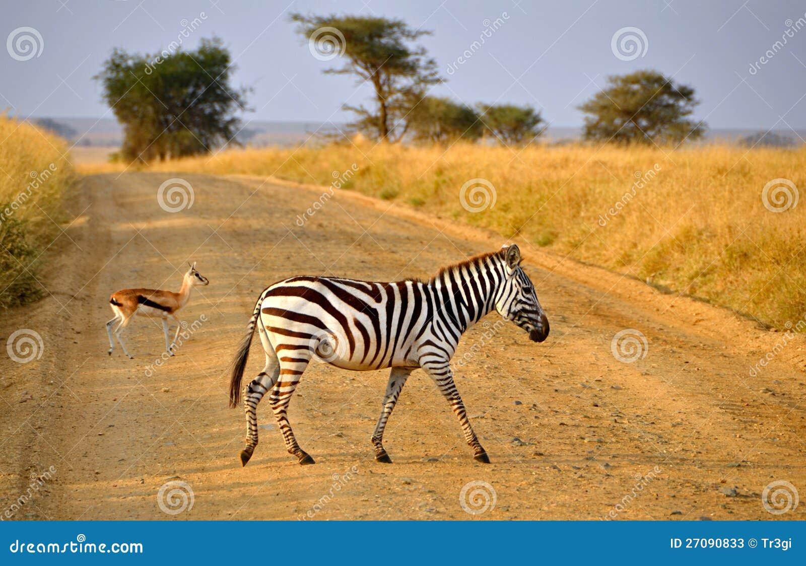 Camino joven del paso de cebra con el antílope en safari
