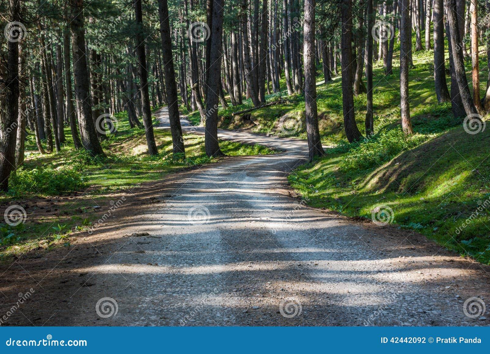 Camino solo a través del bosque denso del pino