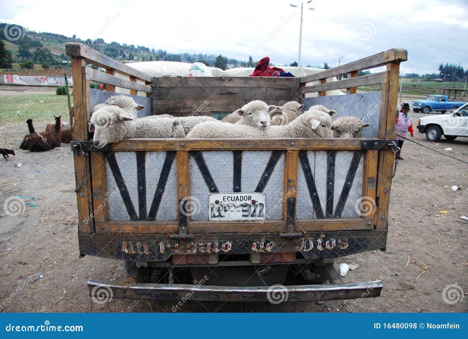 Camion d Ecuadorian complètement avec des moutons