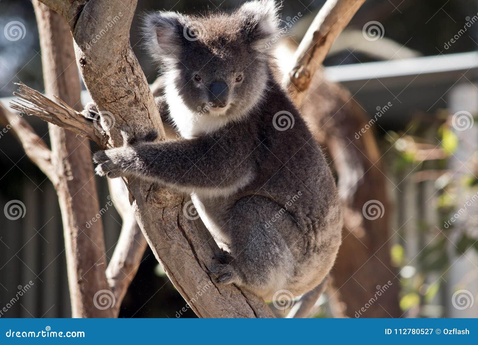 Camiseta ascendente de la koala