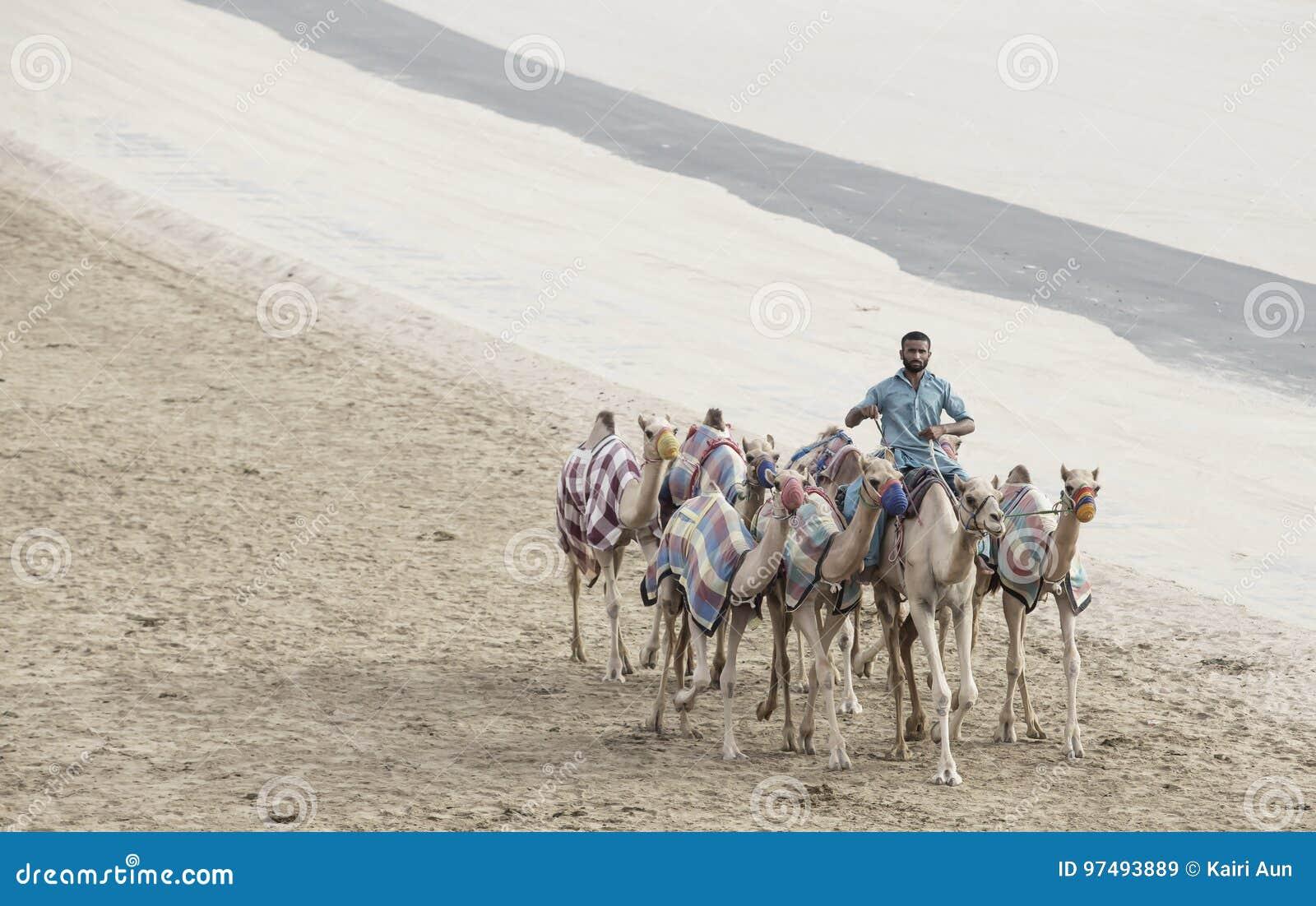 Cammelli in Al Khali Desert dello sfregamento al quarto vuoto, in Abu Dhabi