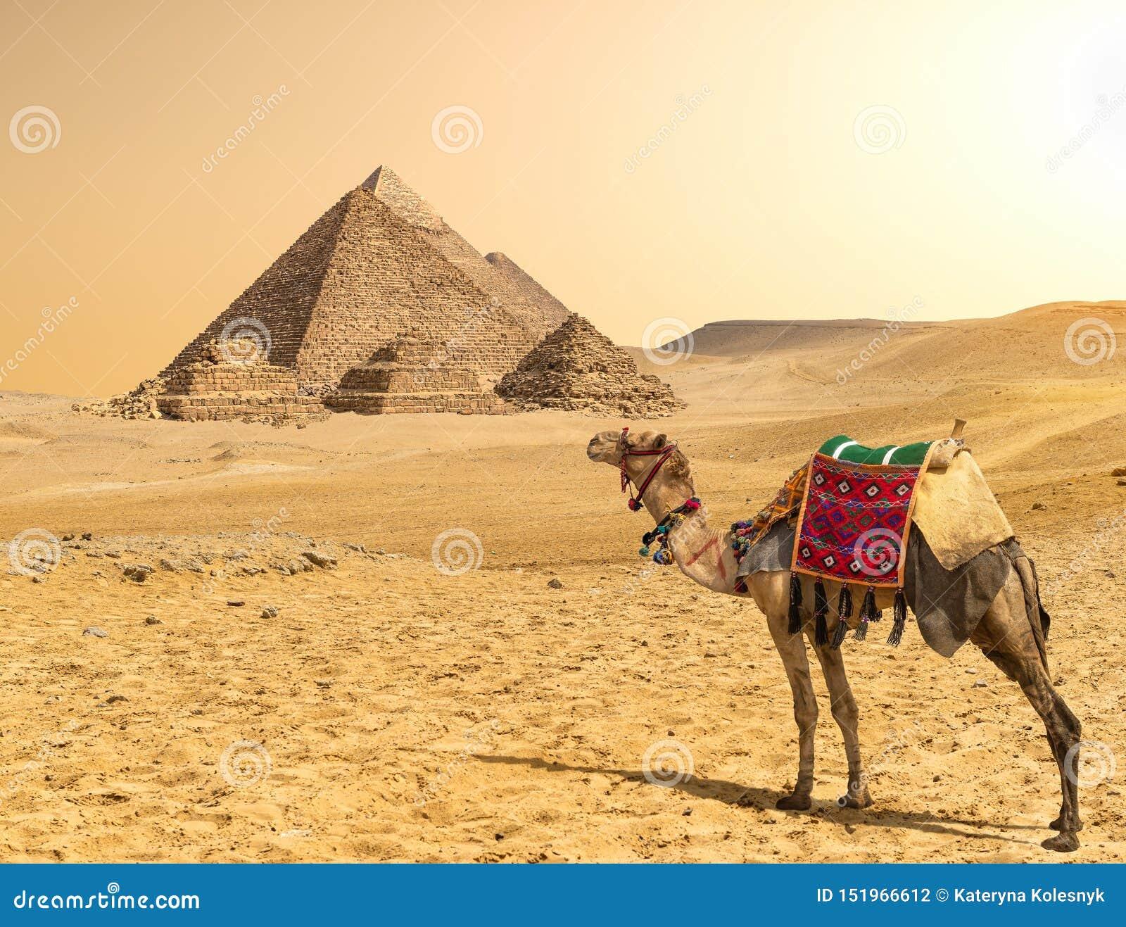 Cammello e piramidi in una fila