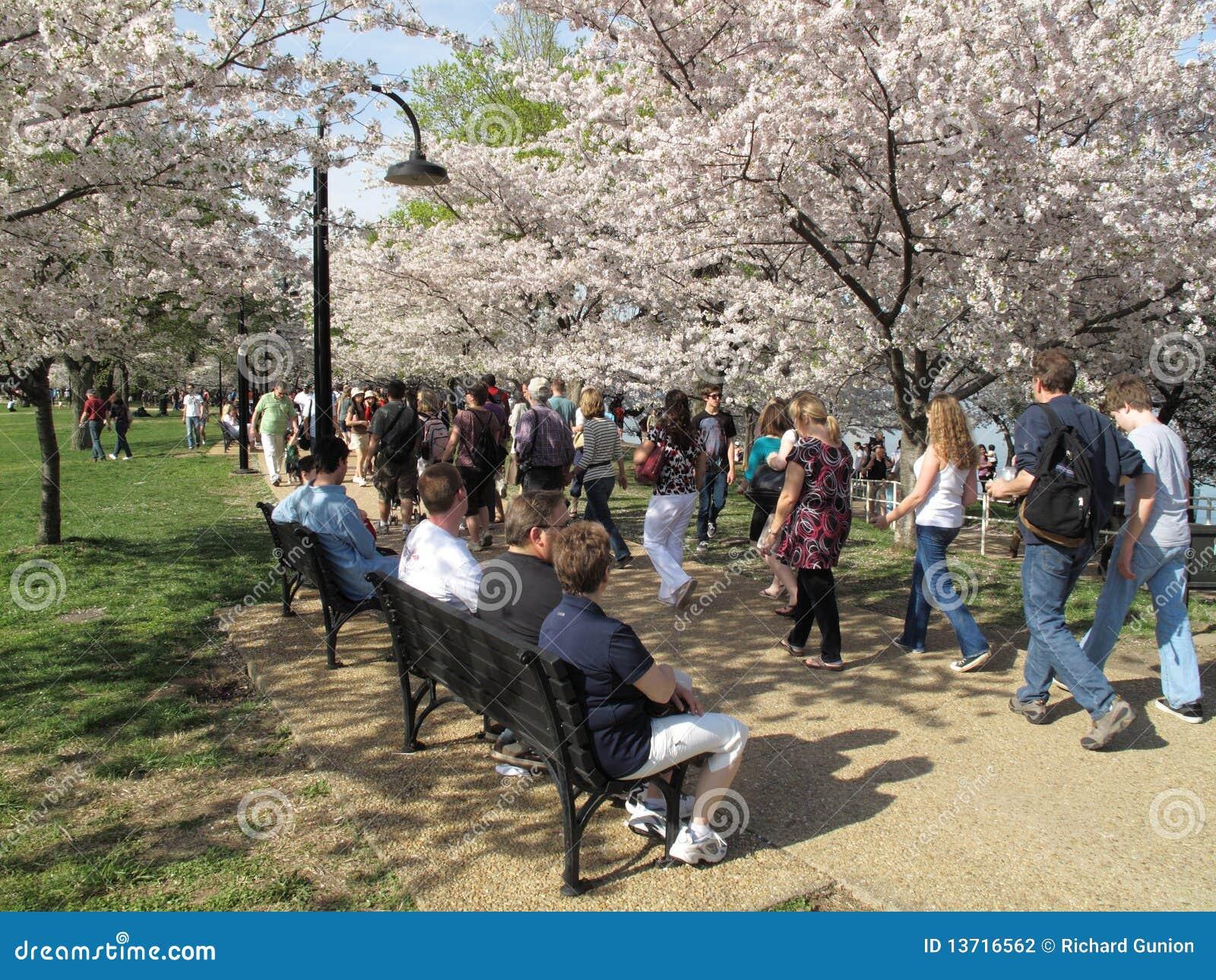 Camminando fra i fiori di ciliegia