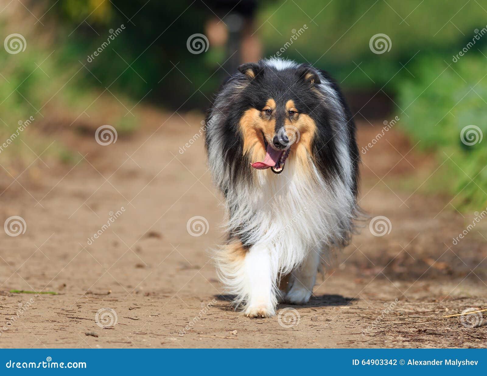 Camminando verso il protrait nero del cane delle collie in natura