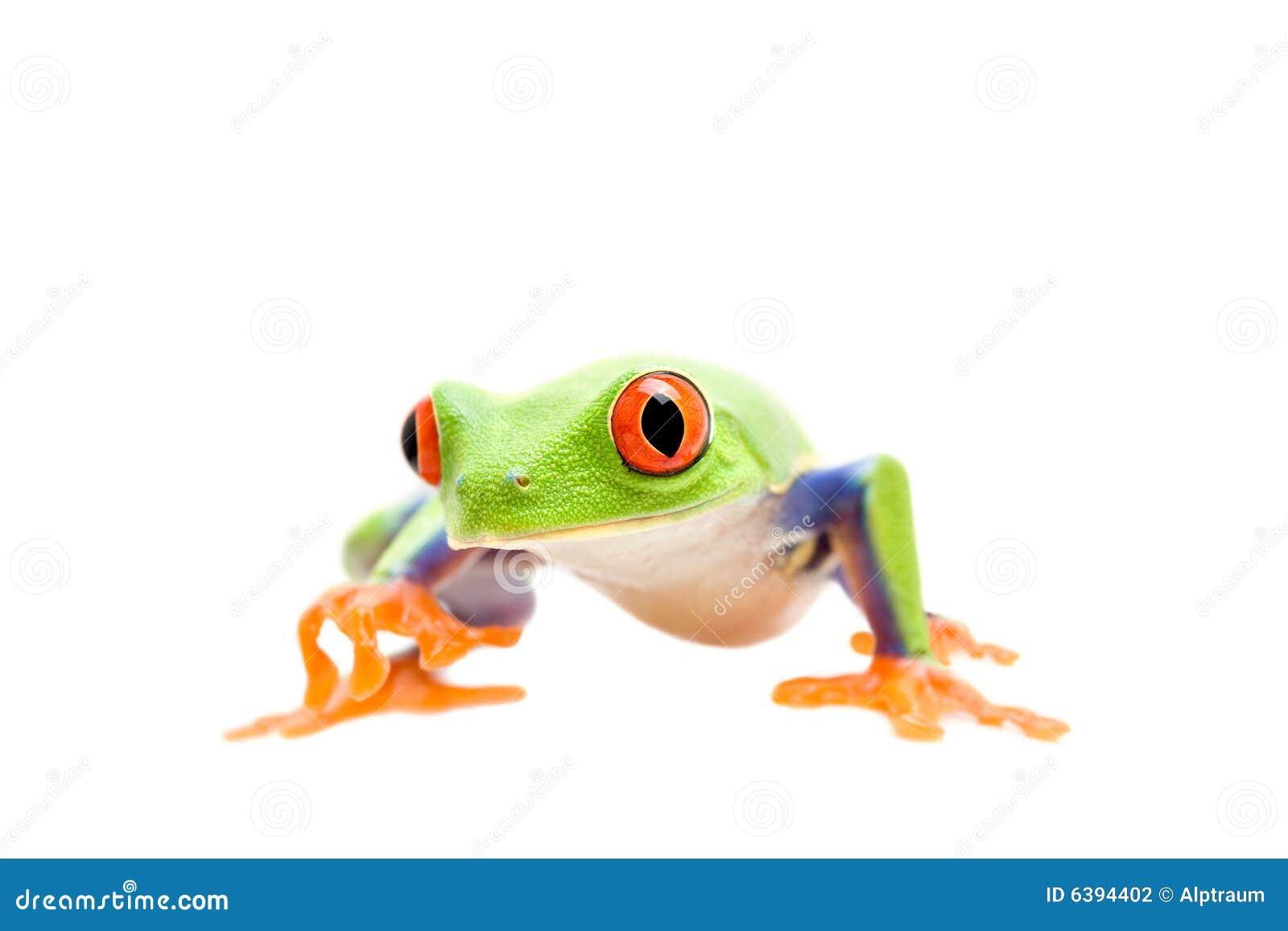Camminare della rana isolato su bianco