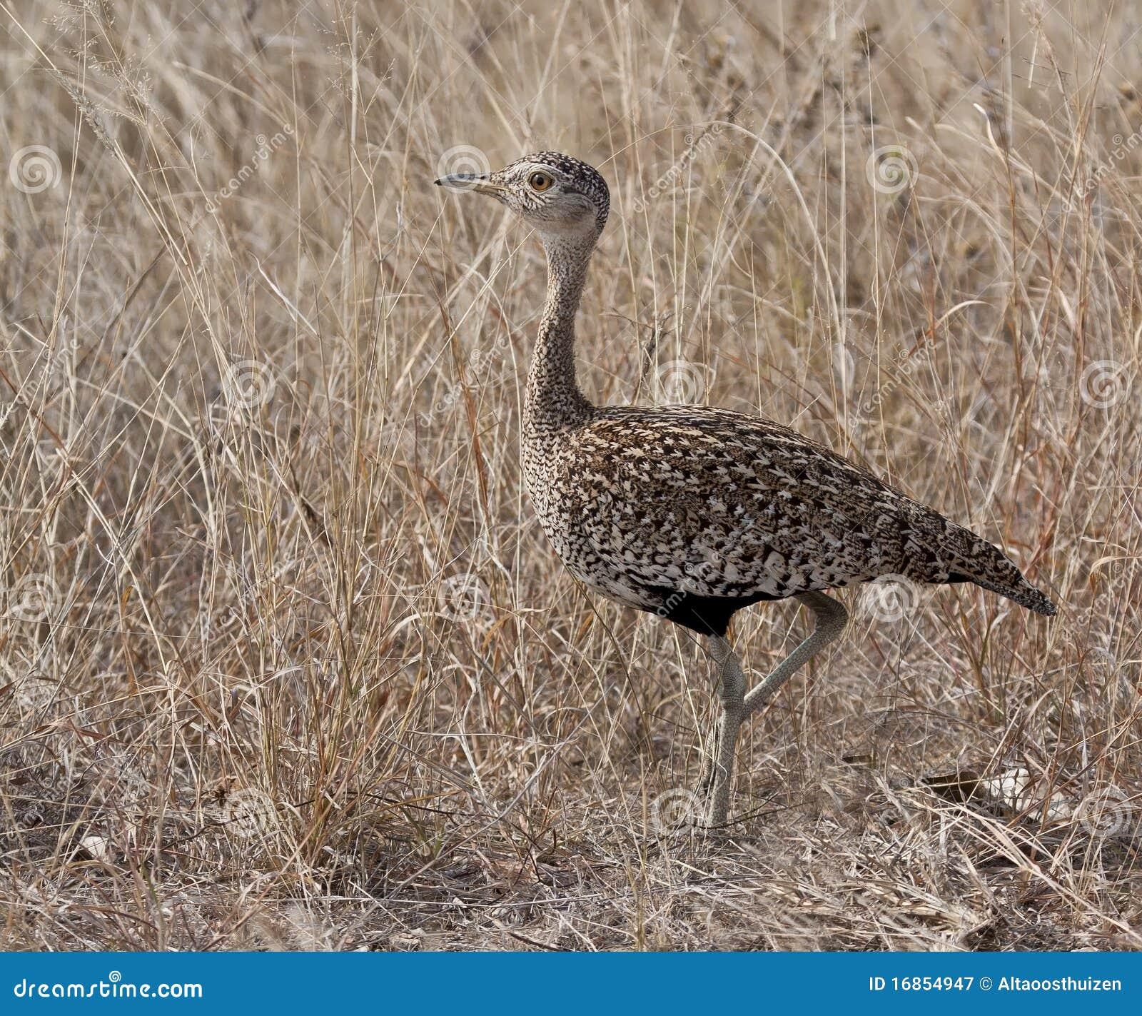 Camminare korhaan crestato rosso nell erba asciutta