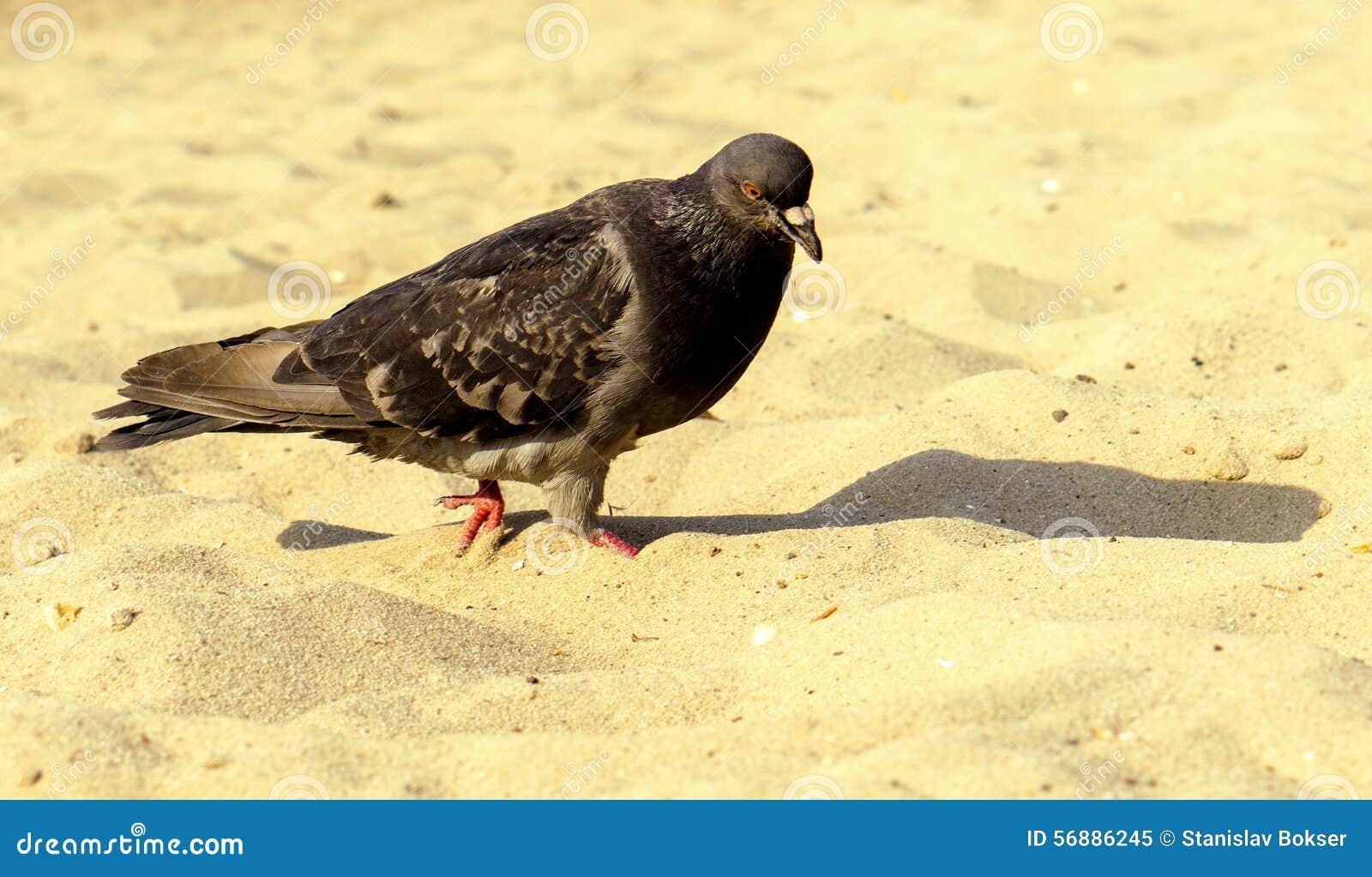 Camminata affamata del piccione