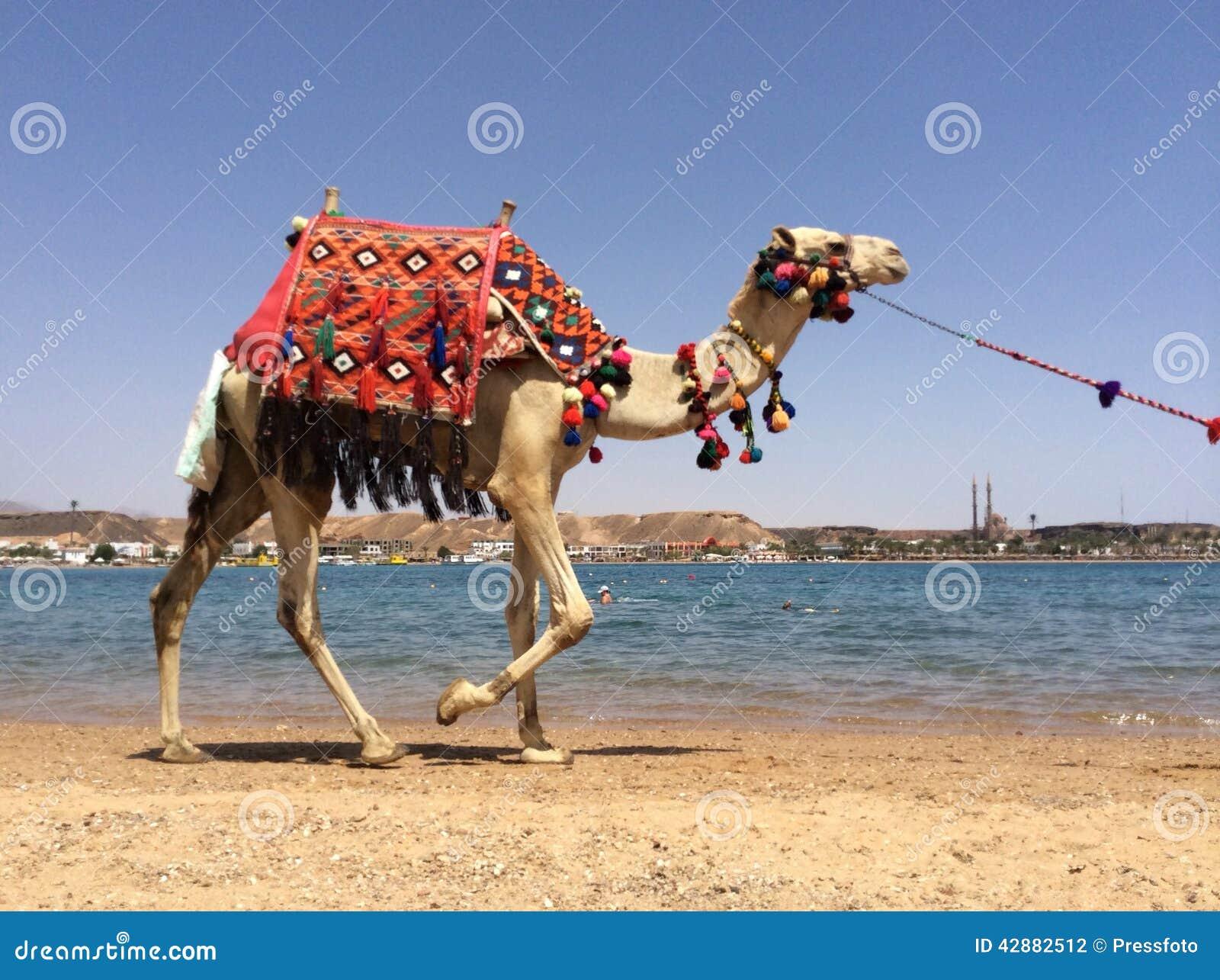 Camminata del cammello
