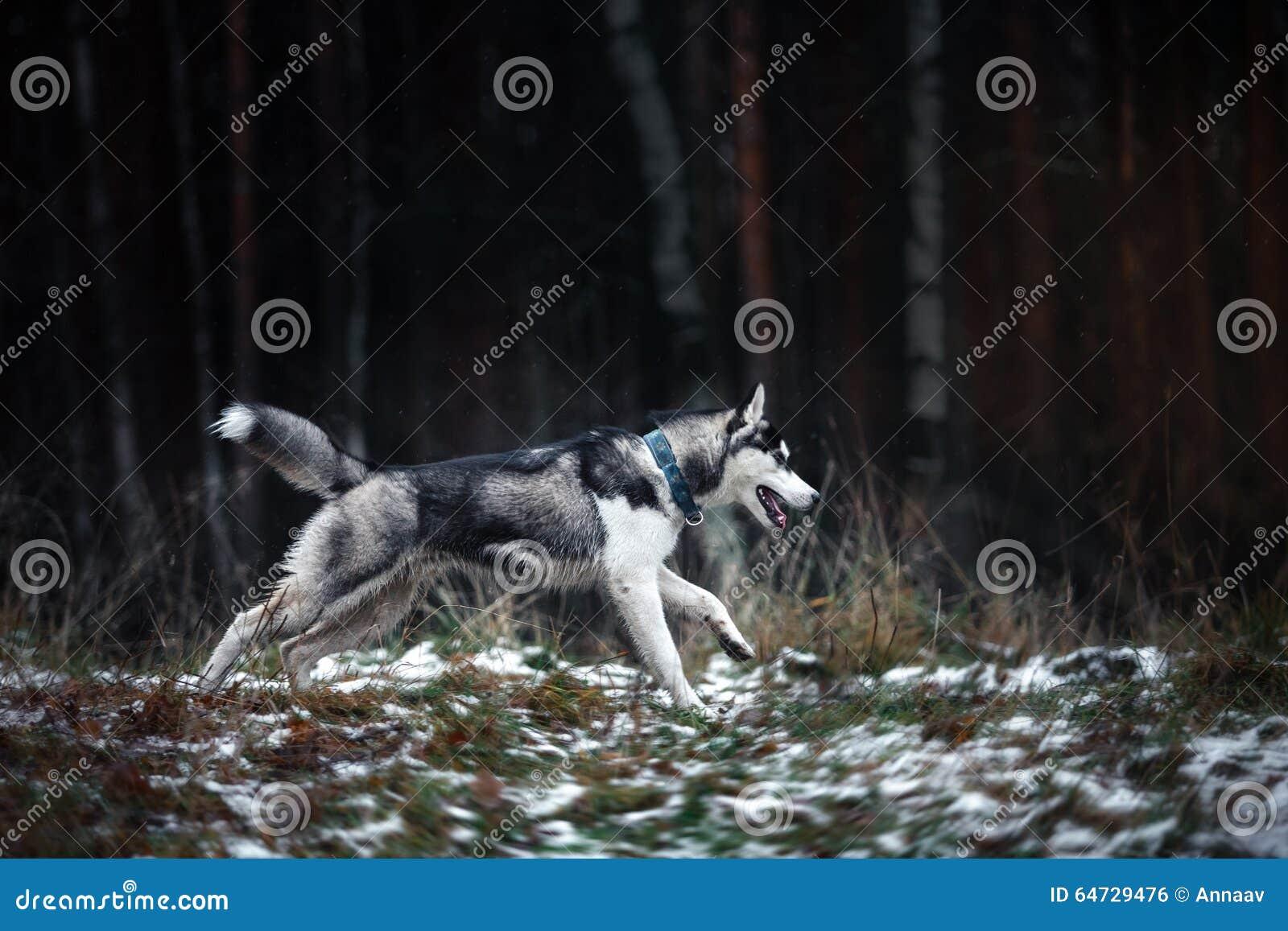 Camminata del husky siberiano del cane