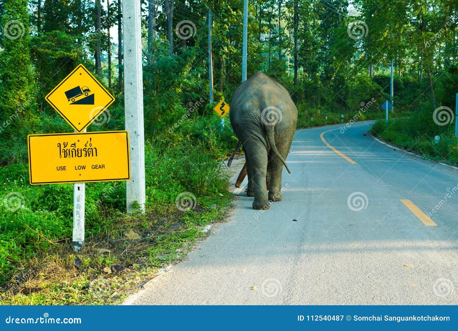 Camminata dell elefante sola sulla strada campestre di alpeggio alta