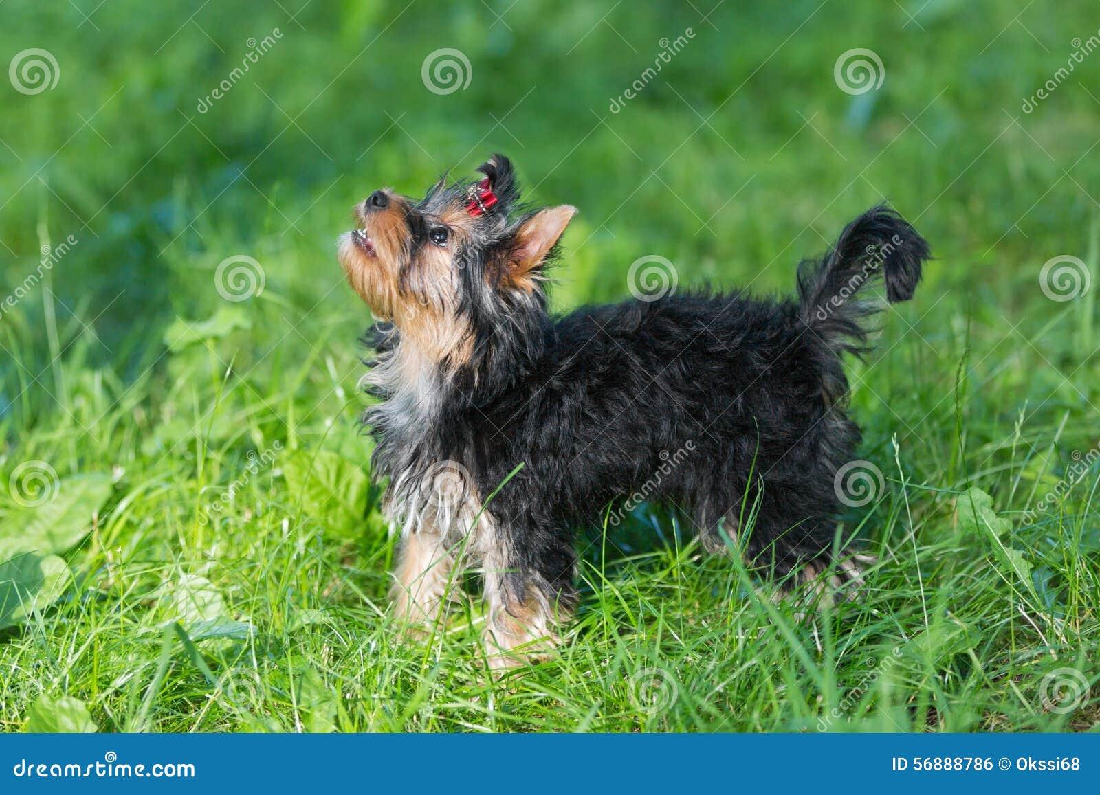 Camminata dell Yorkshire terrier del cucciolo