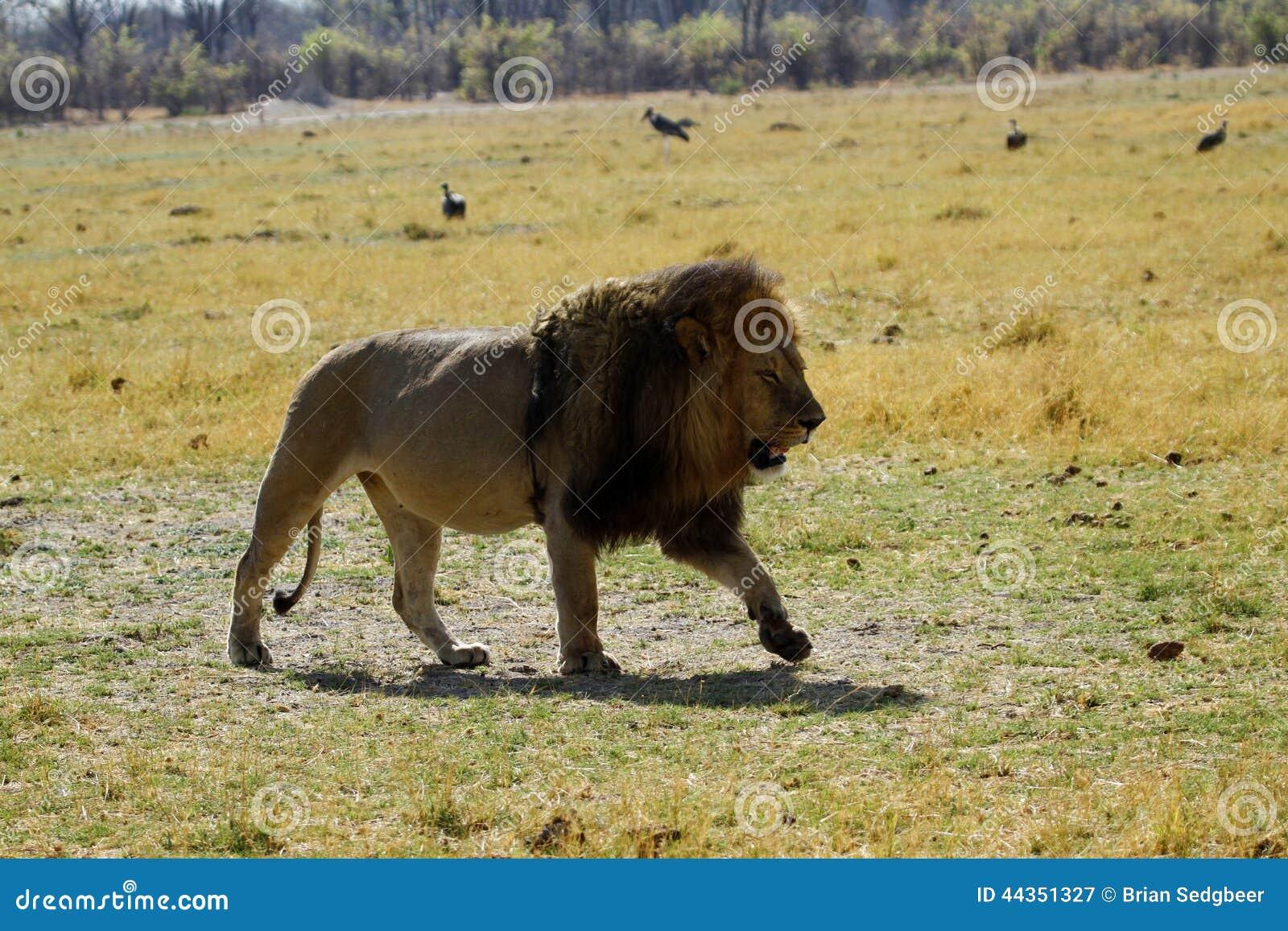 Camminata di Lion Pride Big Boy A