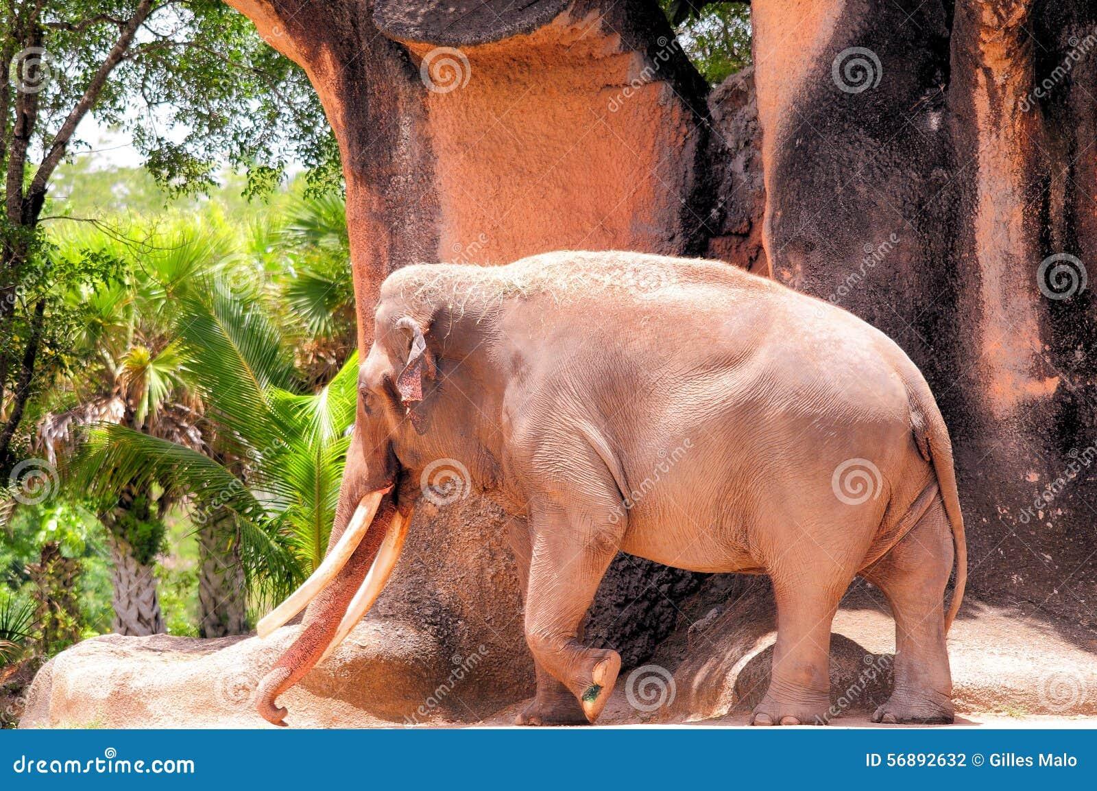 Camminata maschio dell elefante