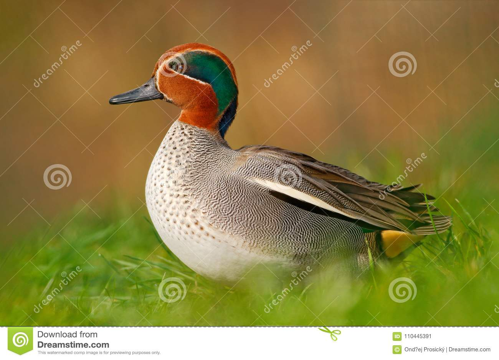 Camnon小野鸭,语录crecca,与生锈的头的好的鸭子,在绿草 在水附近的春天鸟 从自然的野生生物场面 双翼飞机