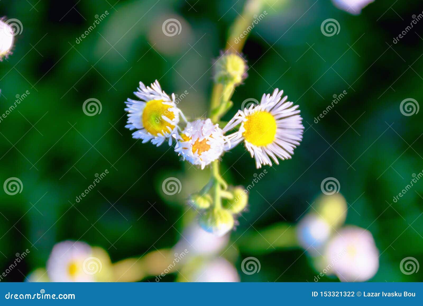 Camomila bonita das flores do medow