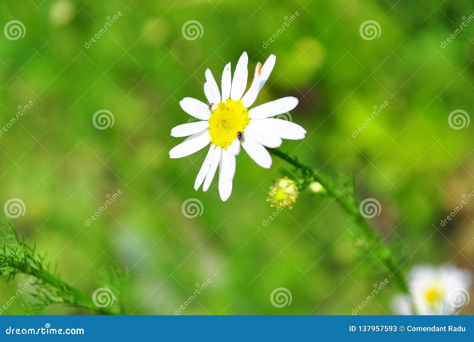 Camomila cercada por um campo verde