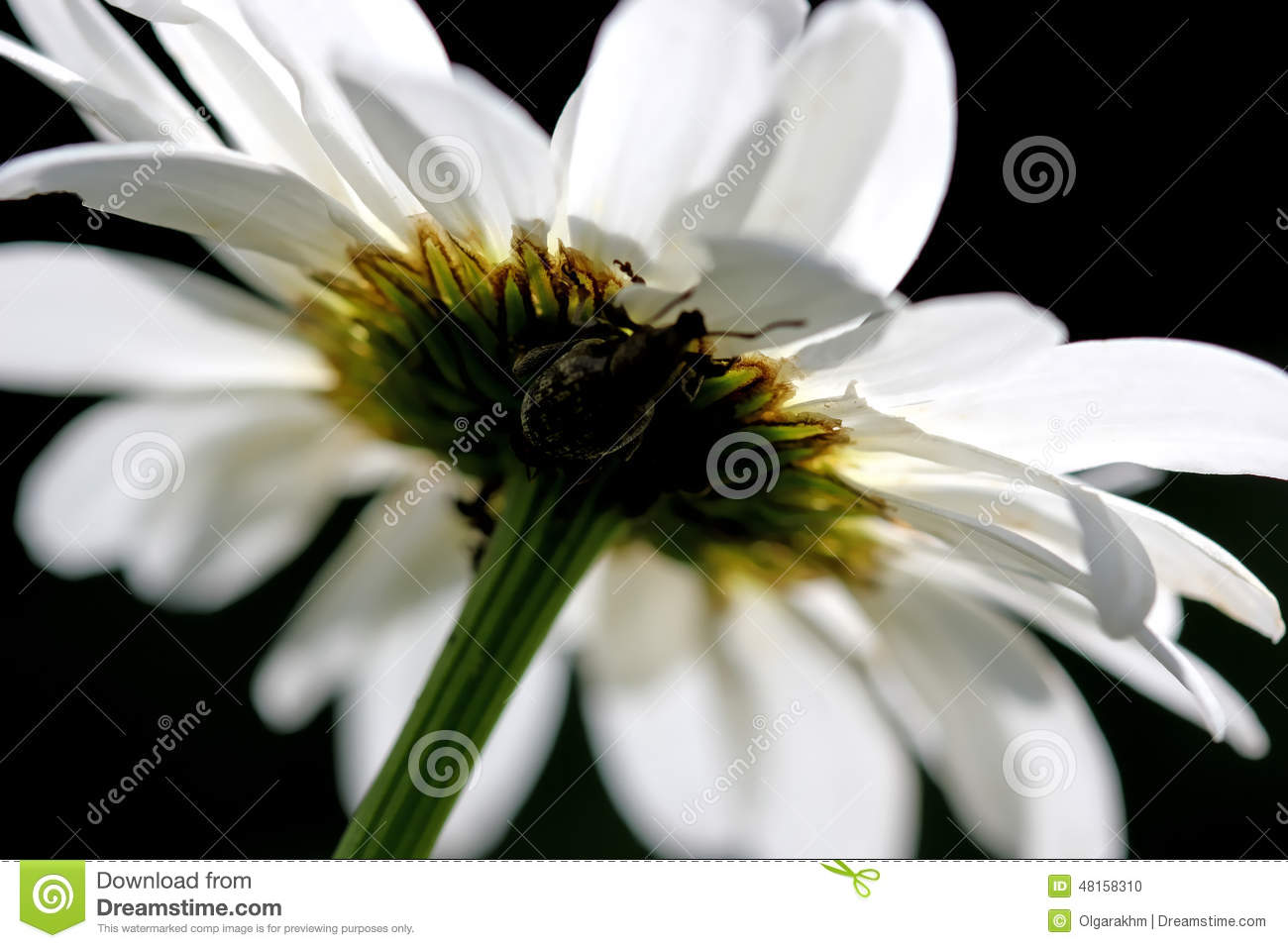 Camomile flower with beetle stock photo image of white outdoors chamomile or camomile is the common name for several daisy like plants of the family asteraceae that are commonly used to make herb infusion to serve izmirmasajfo
