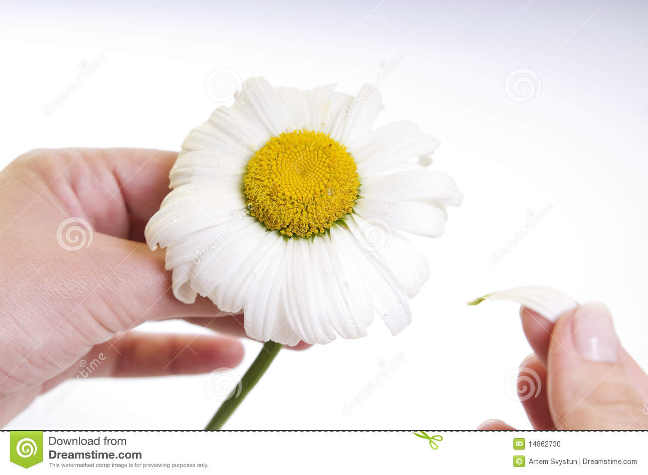 Camomile flower in hands isolated