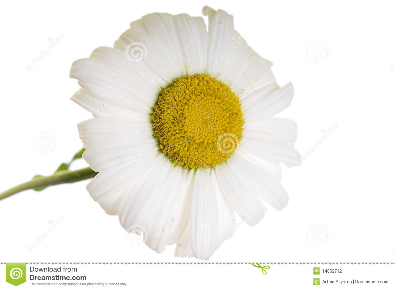 Camomile flower isolated