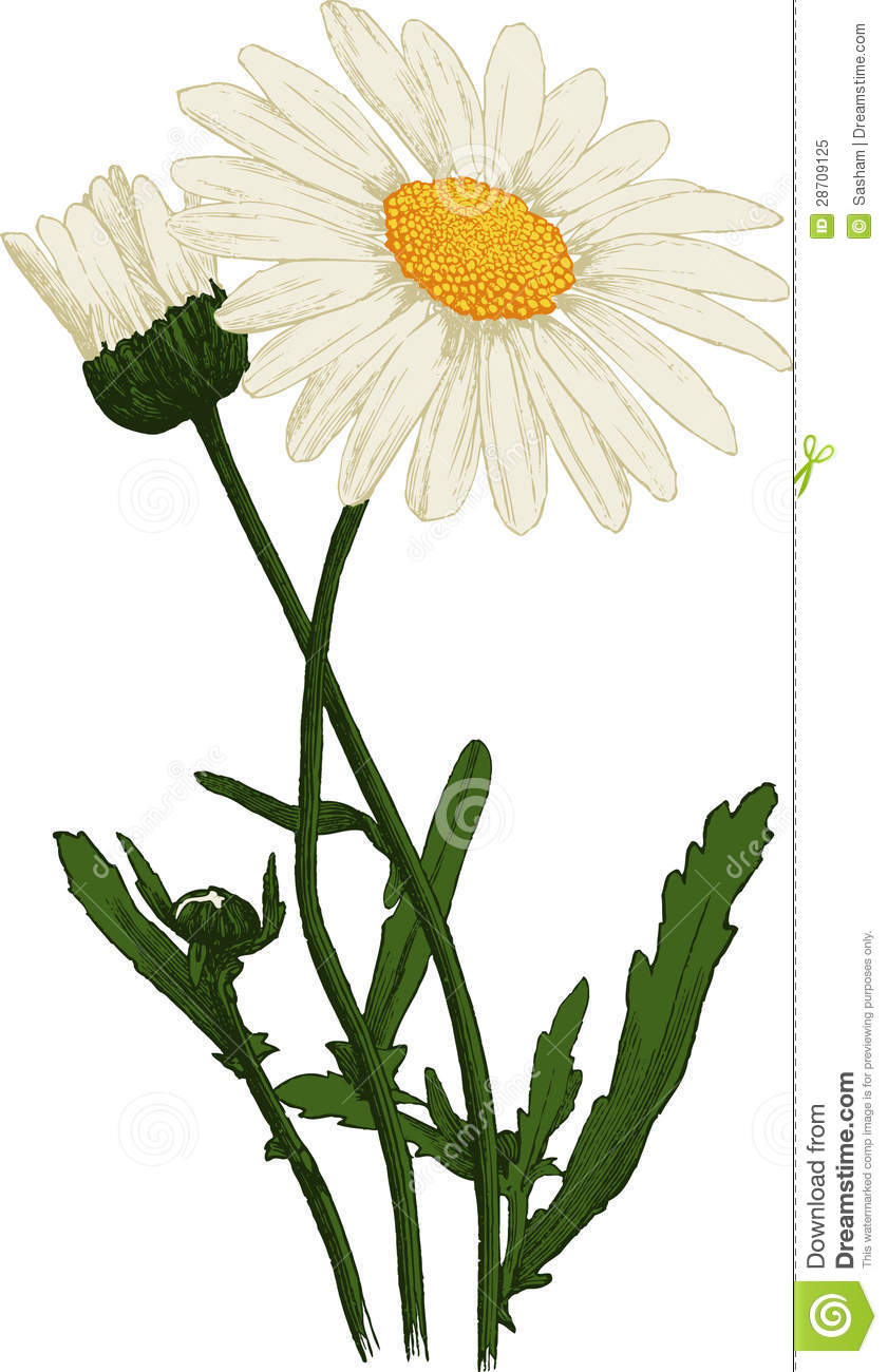 White Camomile Flower Oxeye Daisy Vector Royalty Free