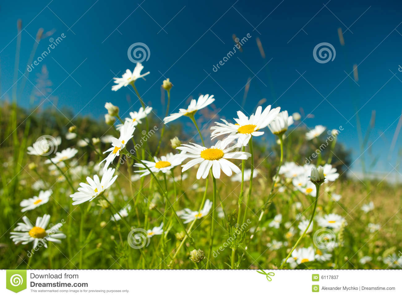 Camomile on natural background