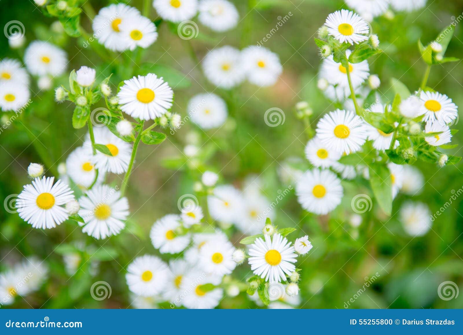 Camomilechamomillaen blommar illustrationmatricariavektorn