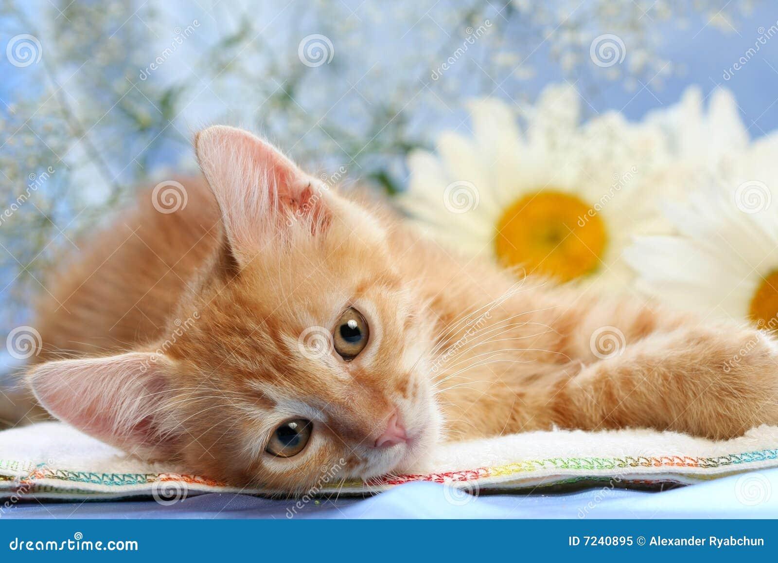 Camomiles小猫讨人喜欢小