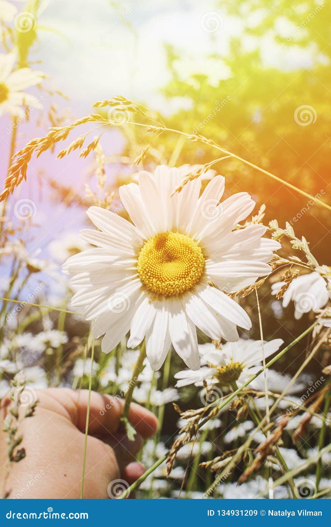 Camomille sur un pré d été à la lumière du soleil, plan rapproché Beau fond d été Effet du coucher de soleil