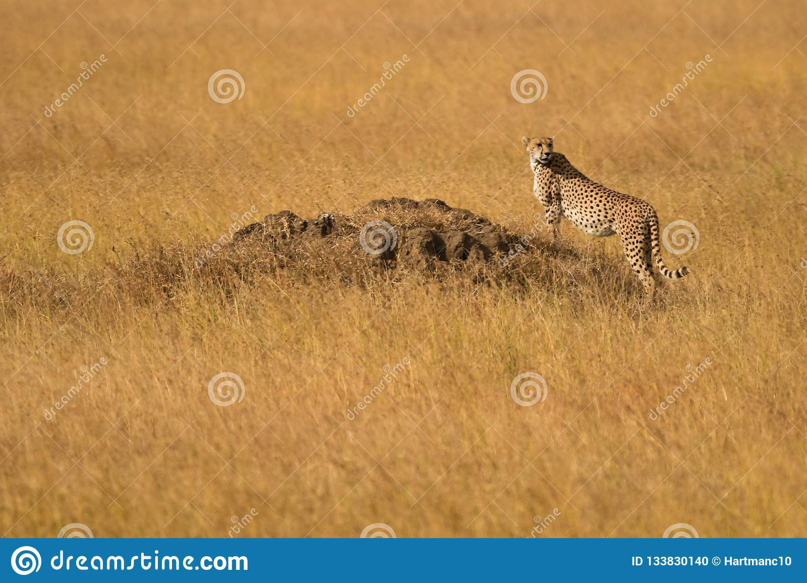 Cheetah in the Serengeti Plains